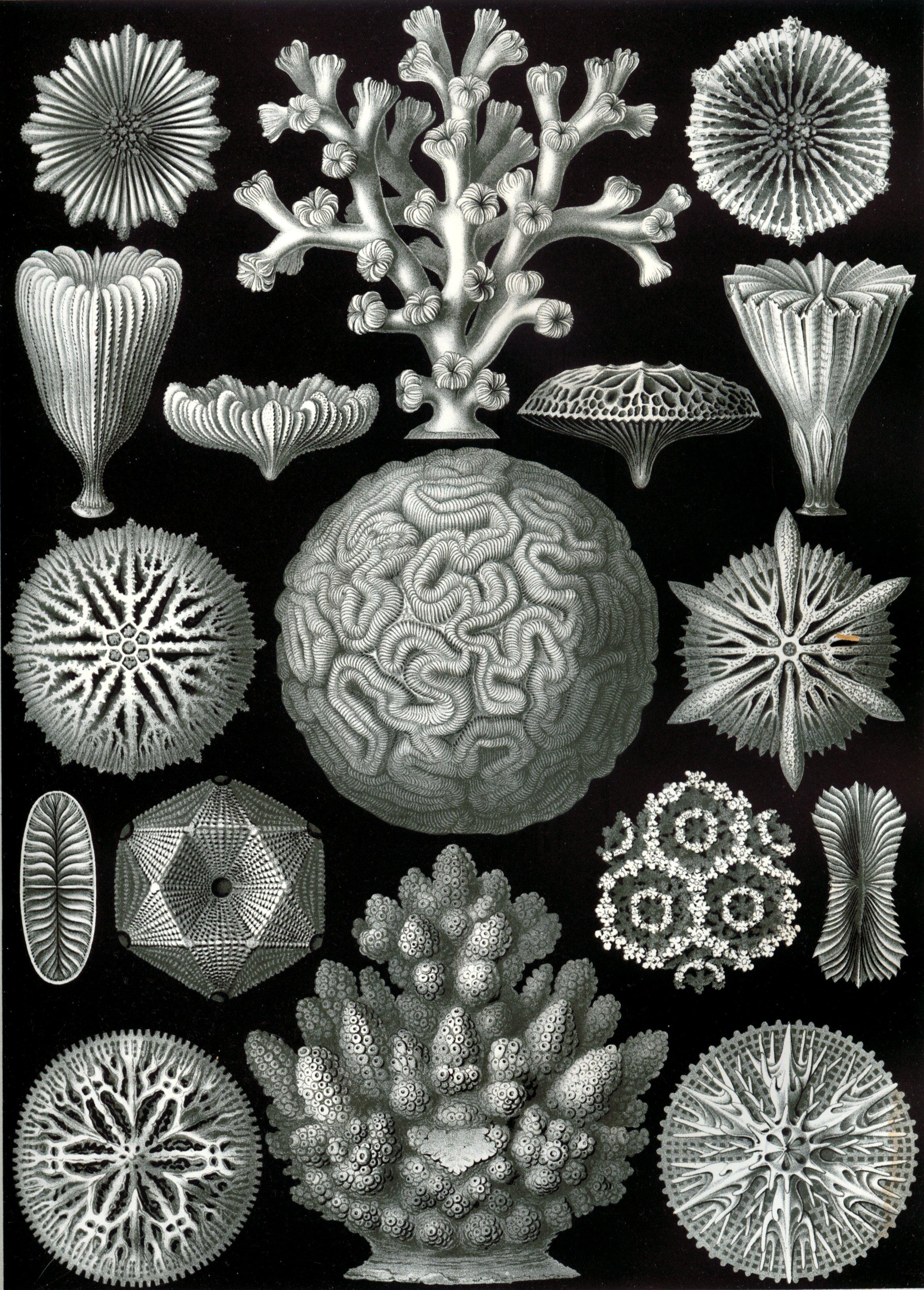 Scleractinia - Wikipedia