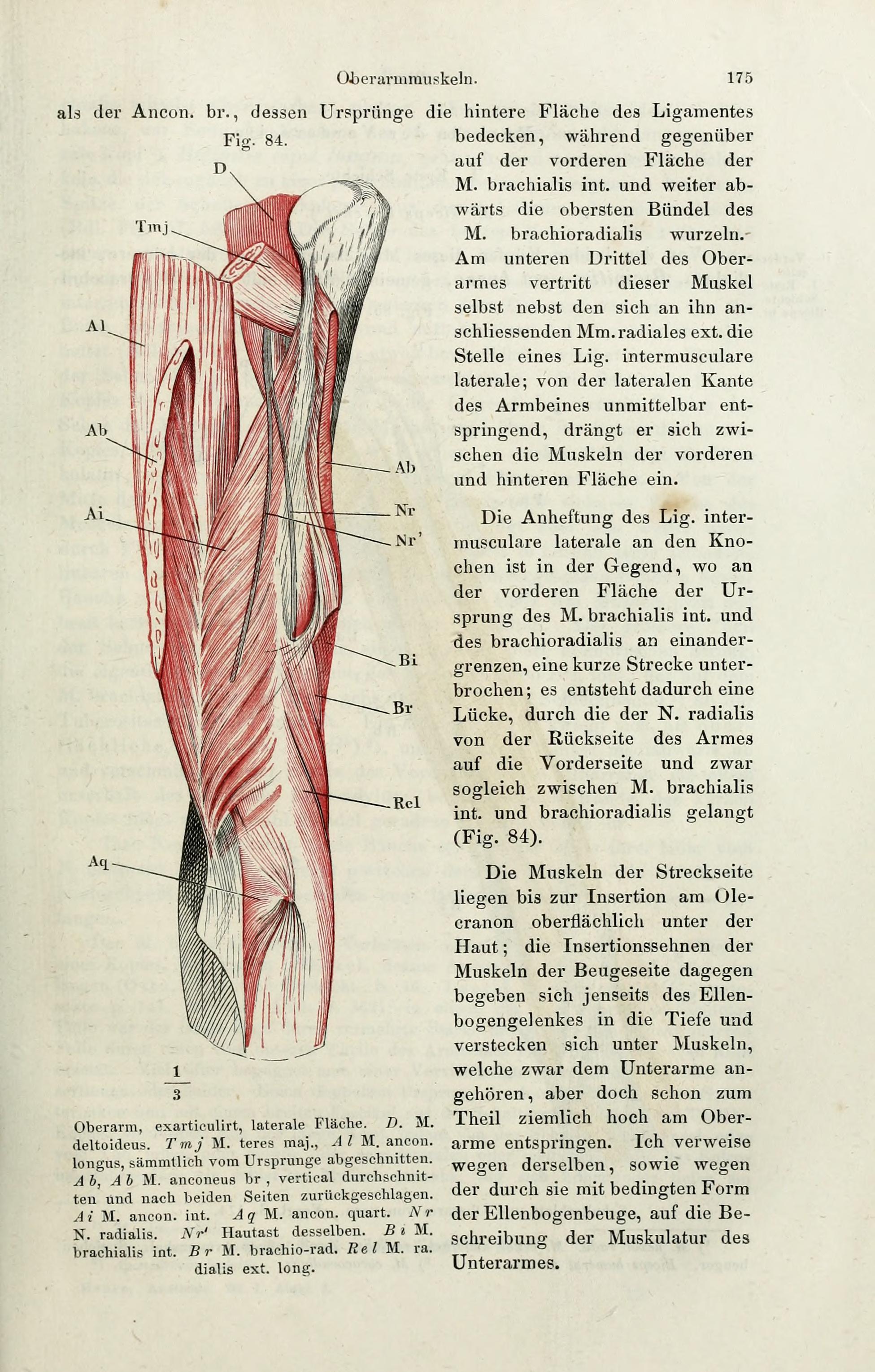 File:Handbuch der systematischen Anatomie des Menschen (Page 175 ...