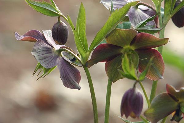 Helleborus purpurascens