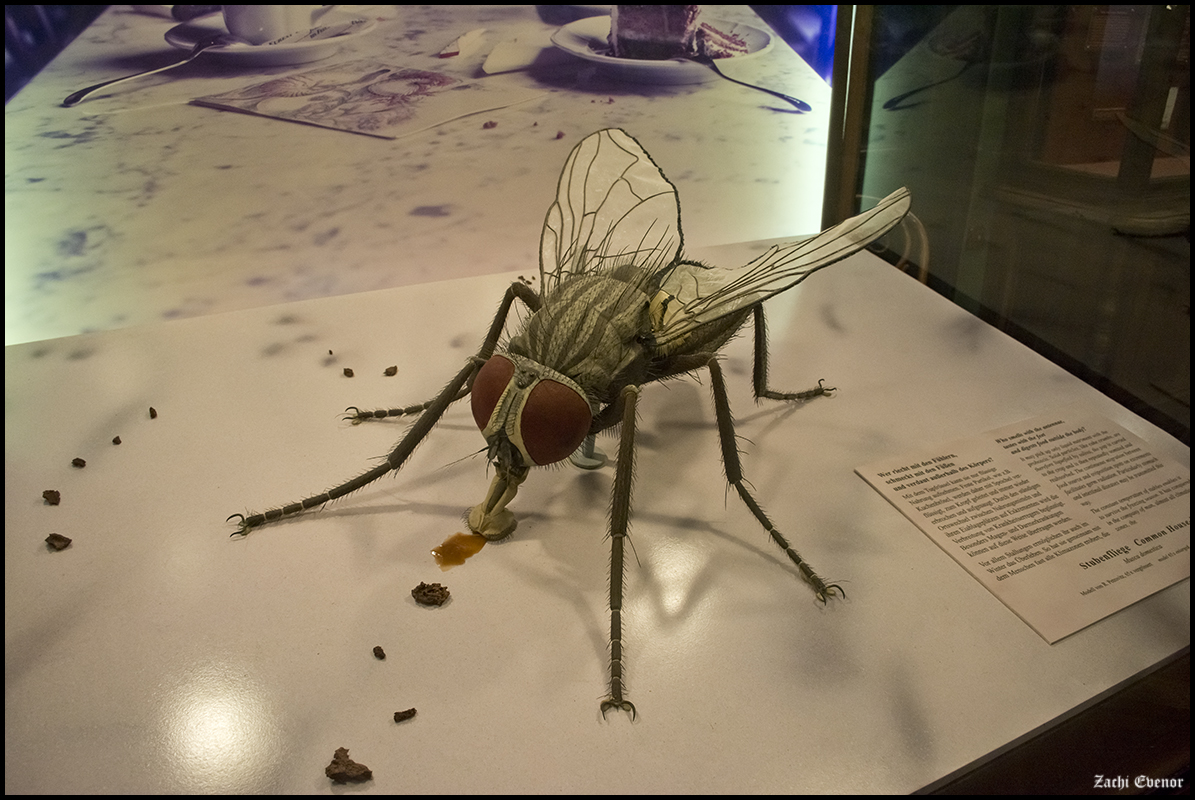 House fly model