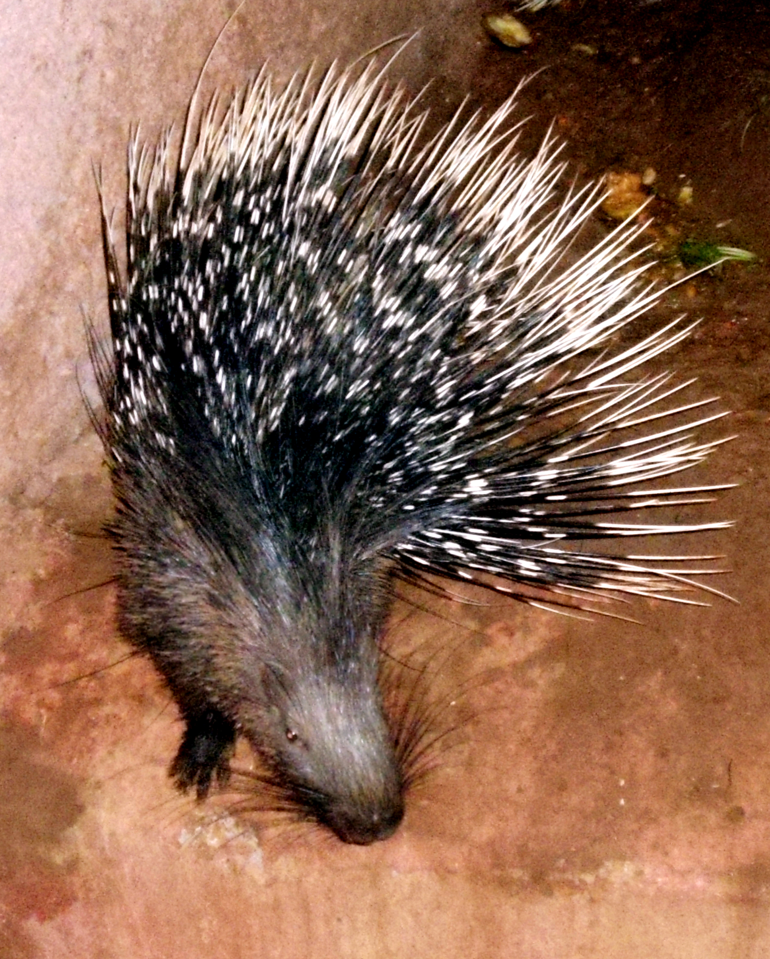 Indian crested porcupine - Wikipedia