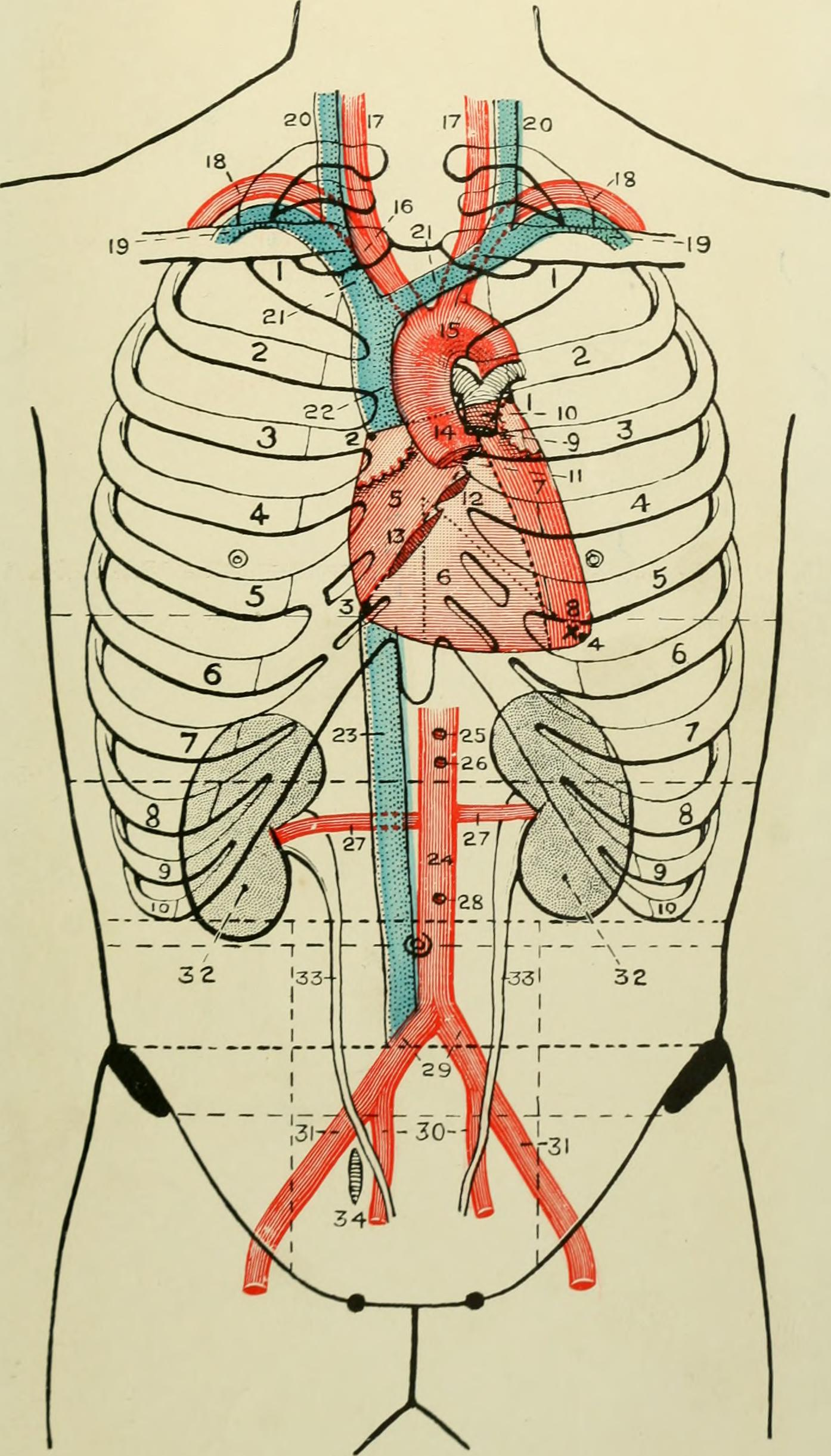File:Landmarks and surface markings of the human body (1913 ...
