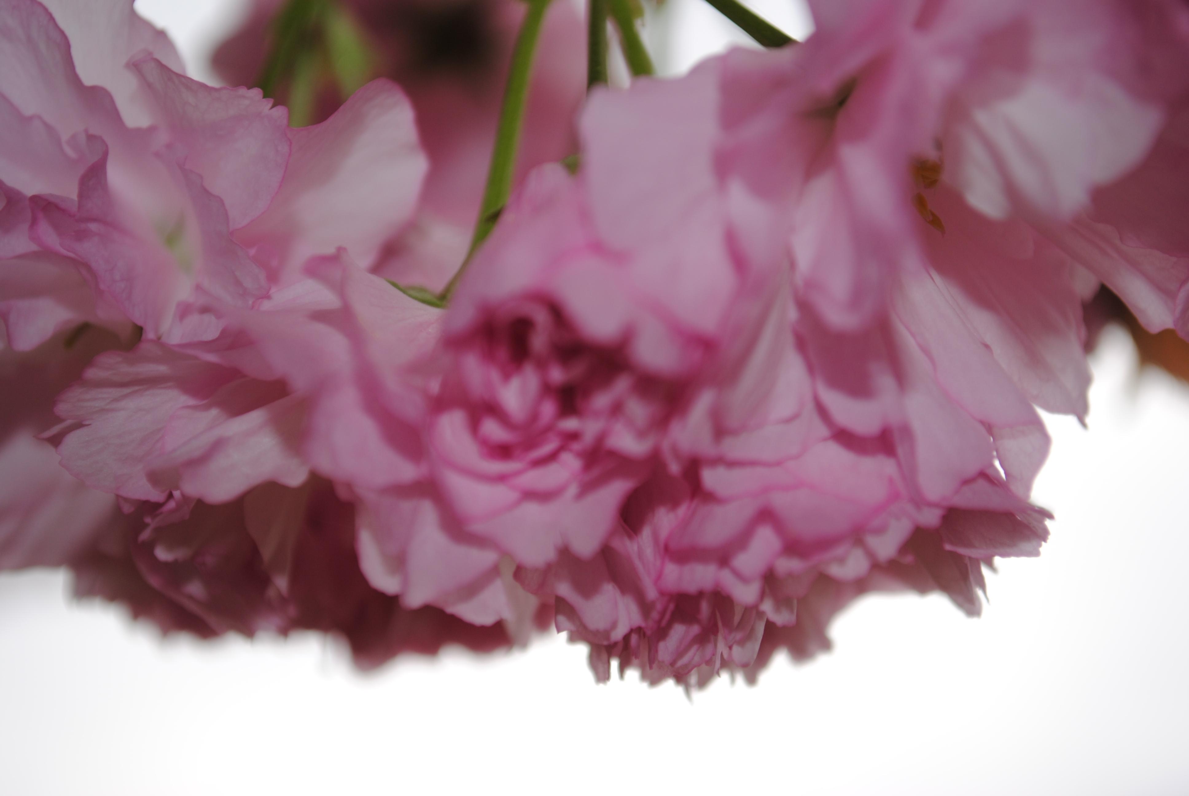 Filelight pink flowering tree blooms closeupg wikimedia commons filelight pink flowering tree blooms closeupg mightylinksfo