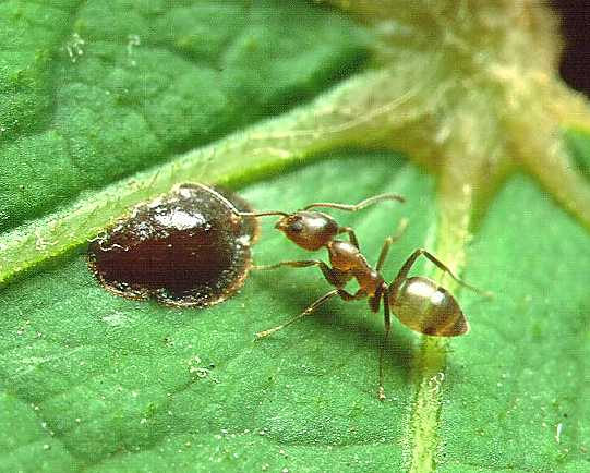 Argentine Ant is eating its food on a leaf