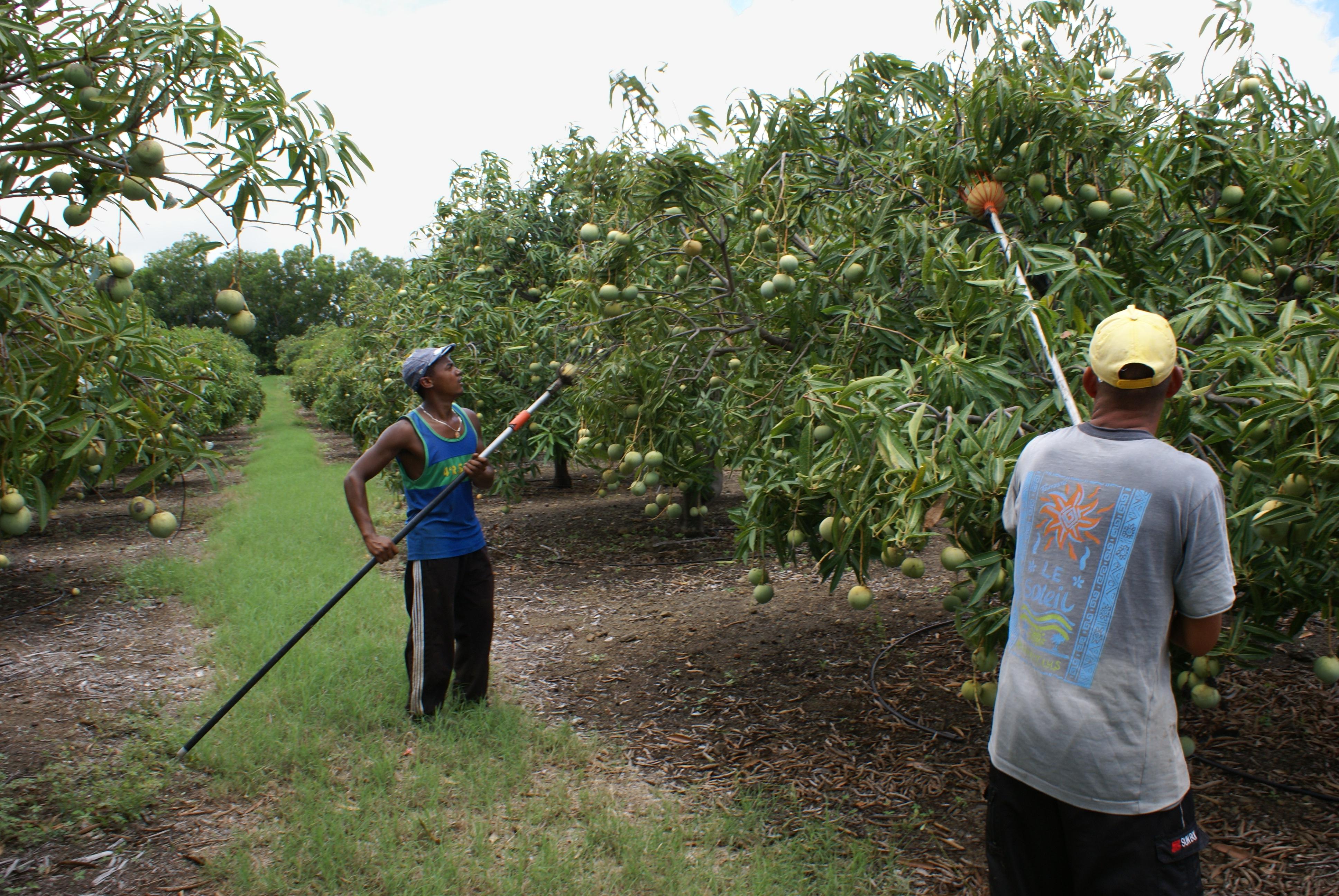 File:Mango p... Harvesting Wikipedia