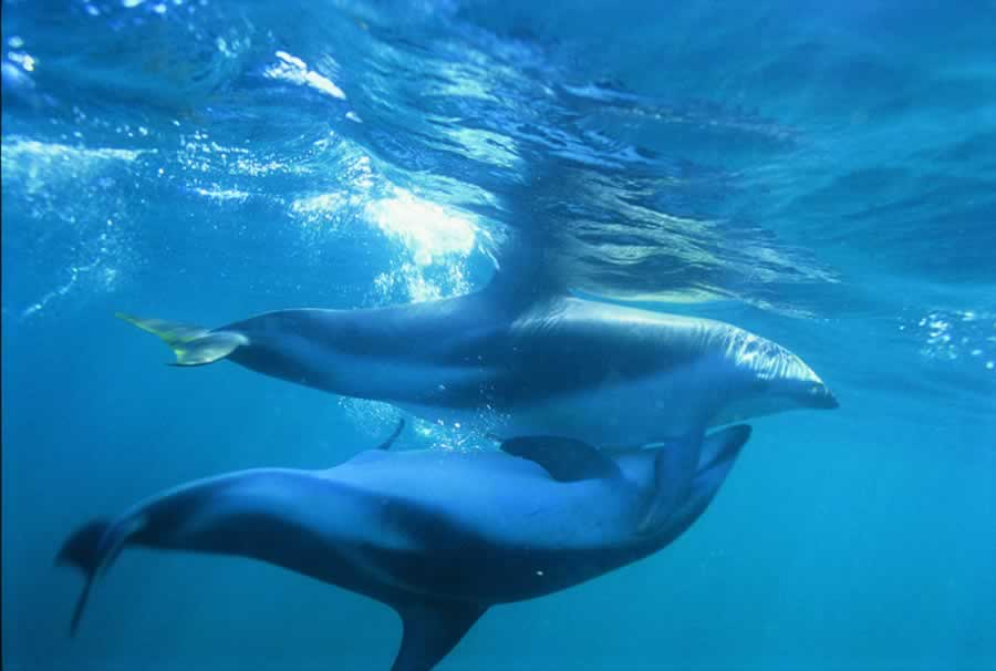 Male Dolphins Show Gay Patterns In Western Australia