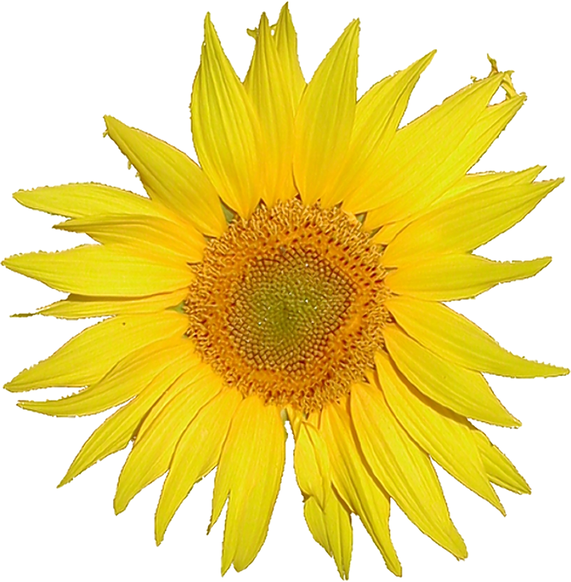 File Mediawiki logo sunflower Tournesol 5x