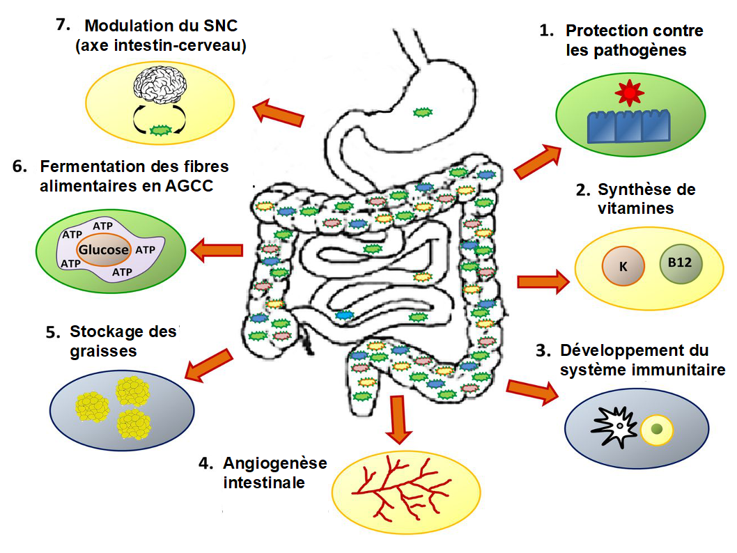 Microbiota roles.png