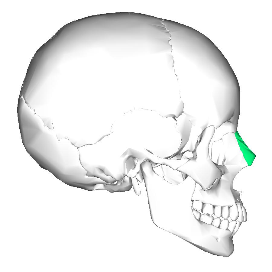 Filenasal Bone Lateralg Wikimedia Commons