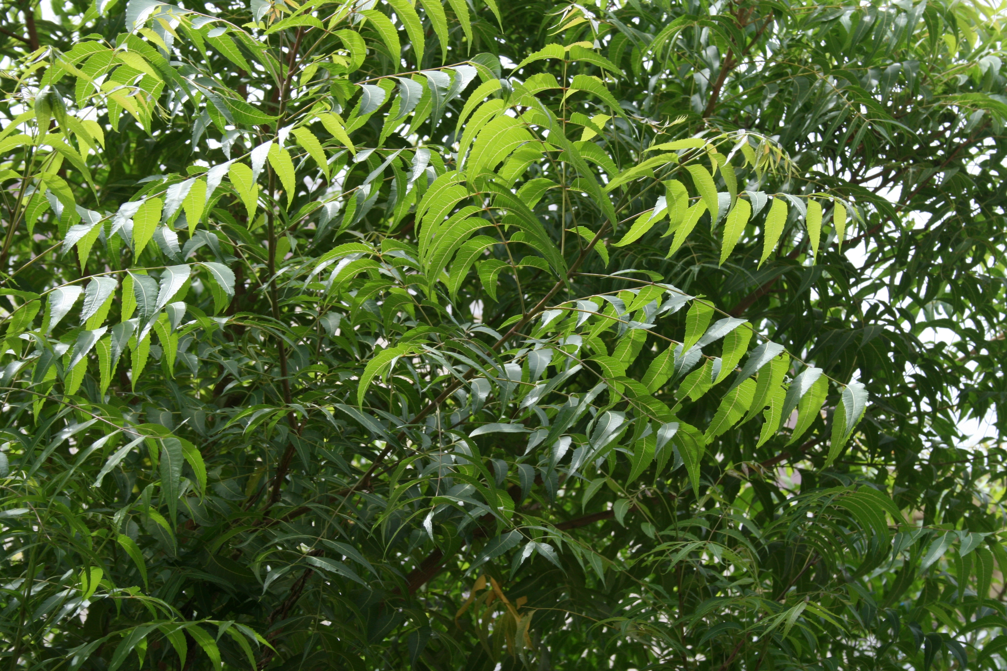 Image result for neem leaves for face