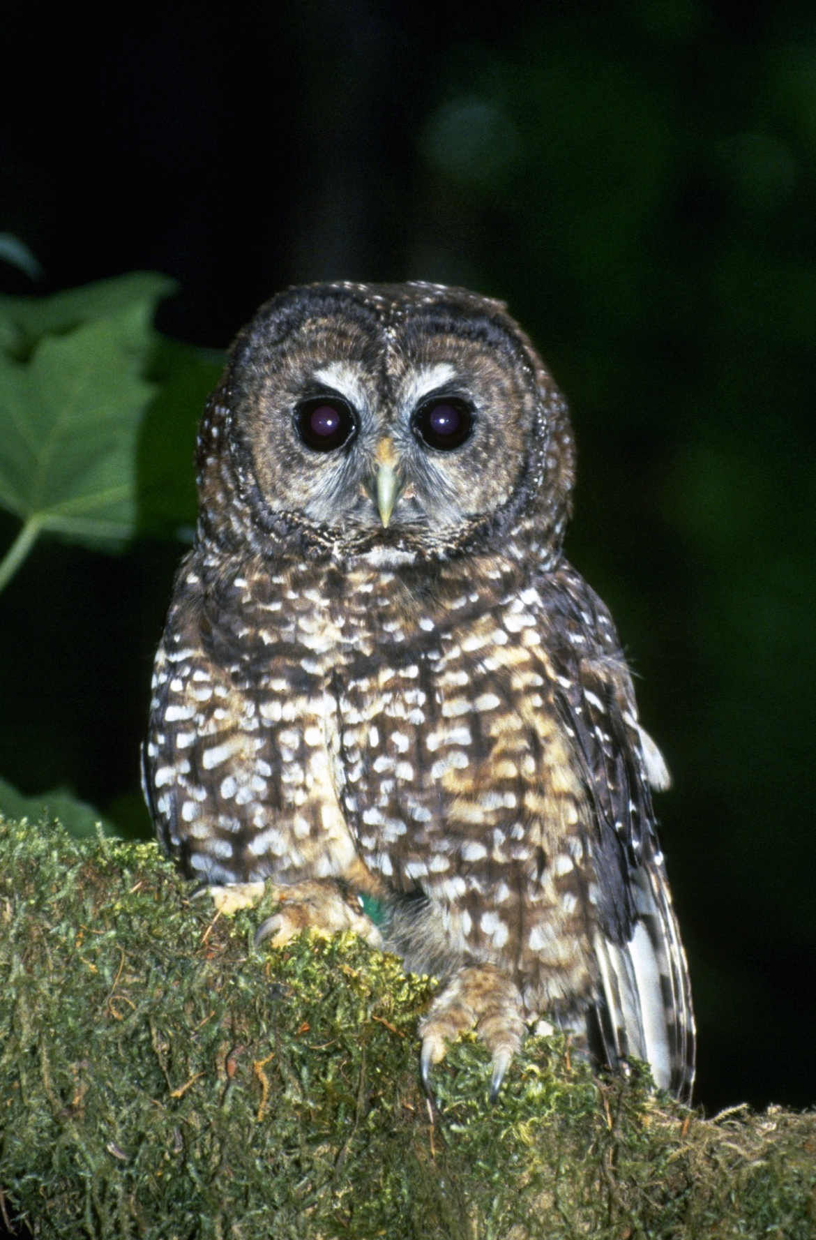 the background of the nocturnal bird northern spotted owl Basic facts about mexican spotted owls the mexican spotted owl  west texas and even into the mountains of northern and central mexico.