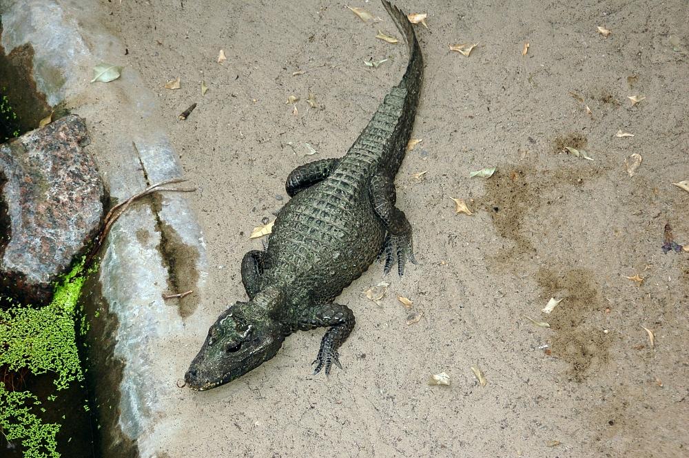 Cá sấu lùn,Osteolaemus tetraspis