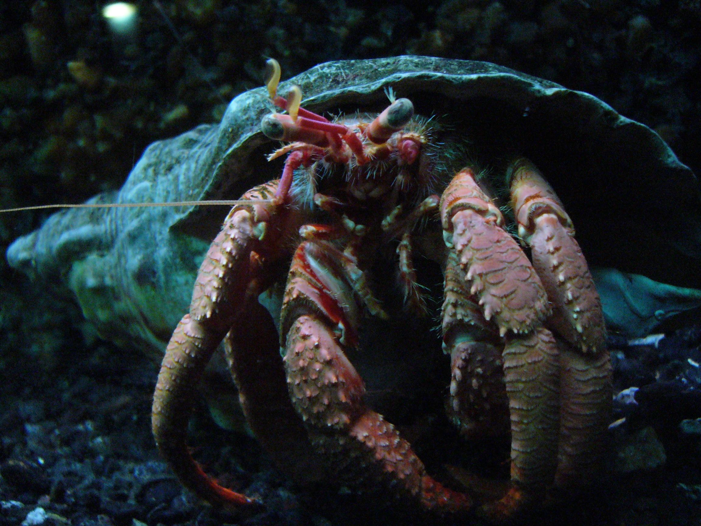 Pagurus bernhardus.004 - Aquarium Finisterrae