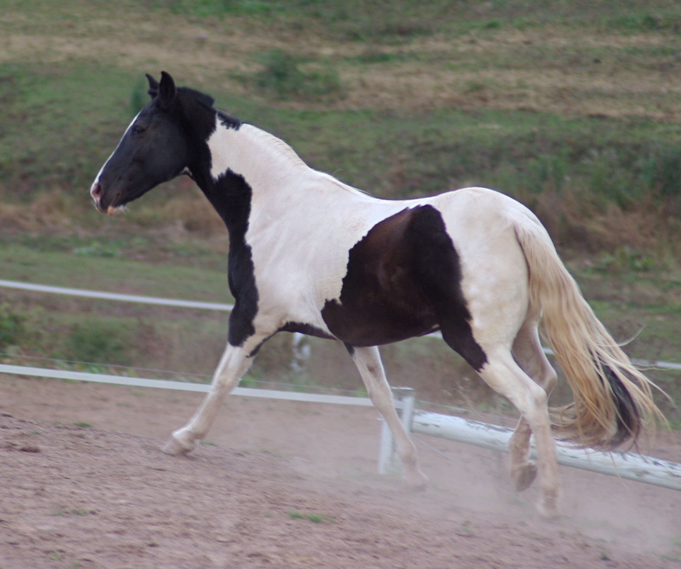 American Paint Horse Black And Wite Being Ridden