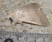 <i>Pandesma</i> Genus of moths