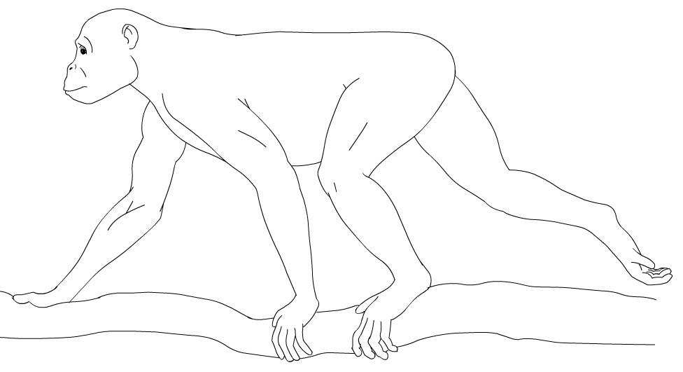 Depiction of Hominoidea