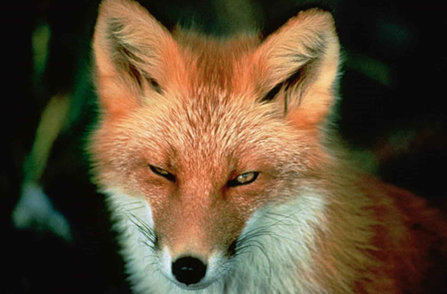 red fox face and - photo #31