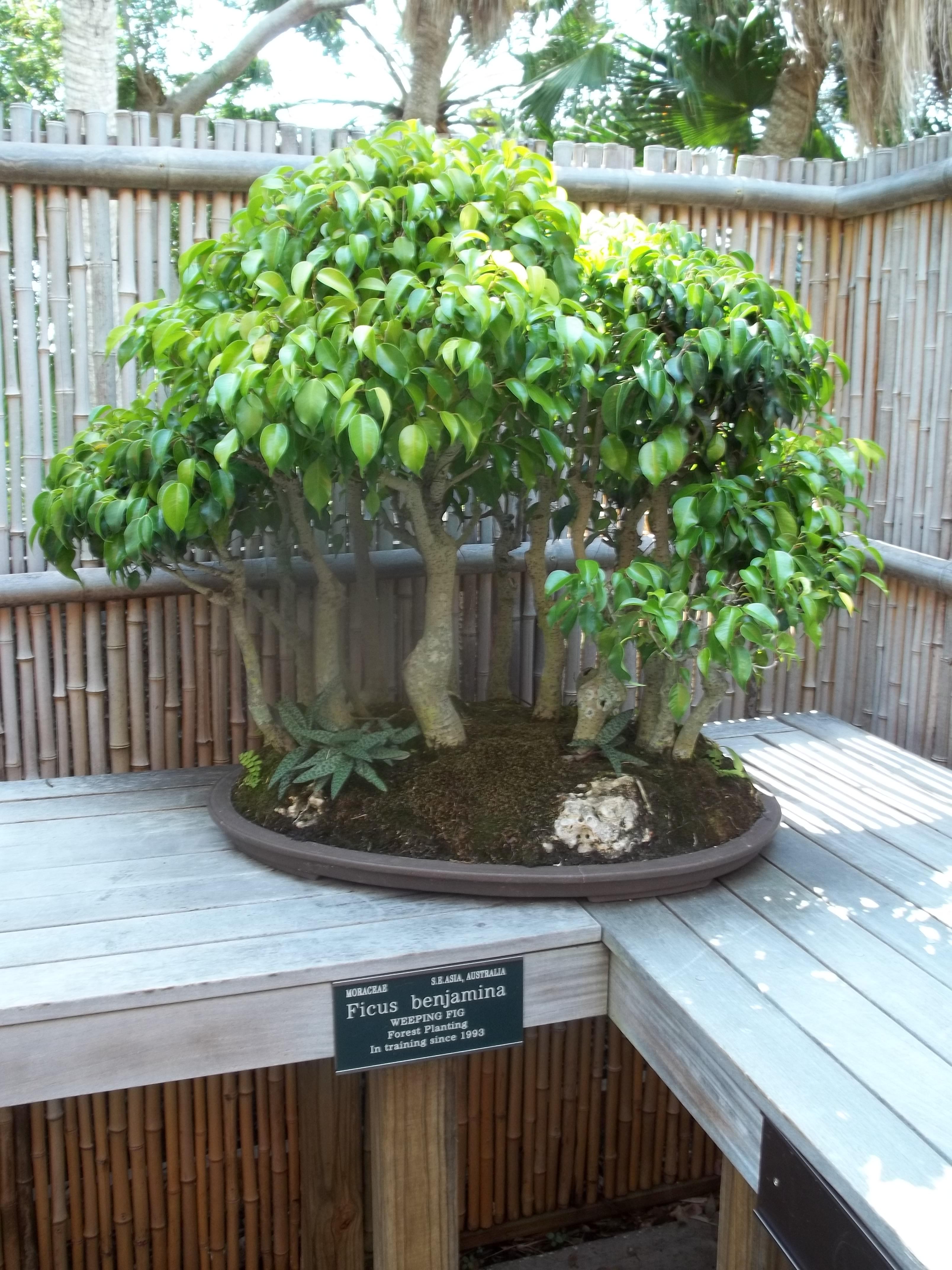 File Sarasota Fl Selby Gardens Bonsai Ficus B01 Jpg Wikimedia Commons