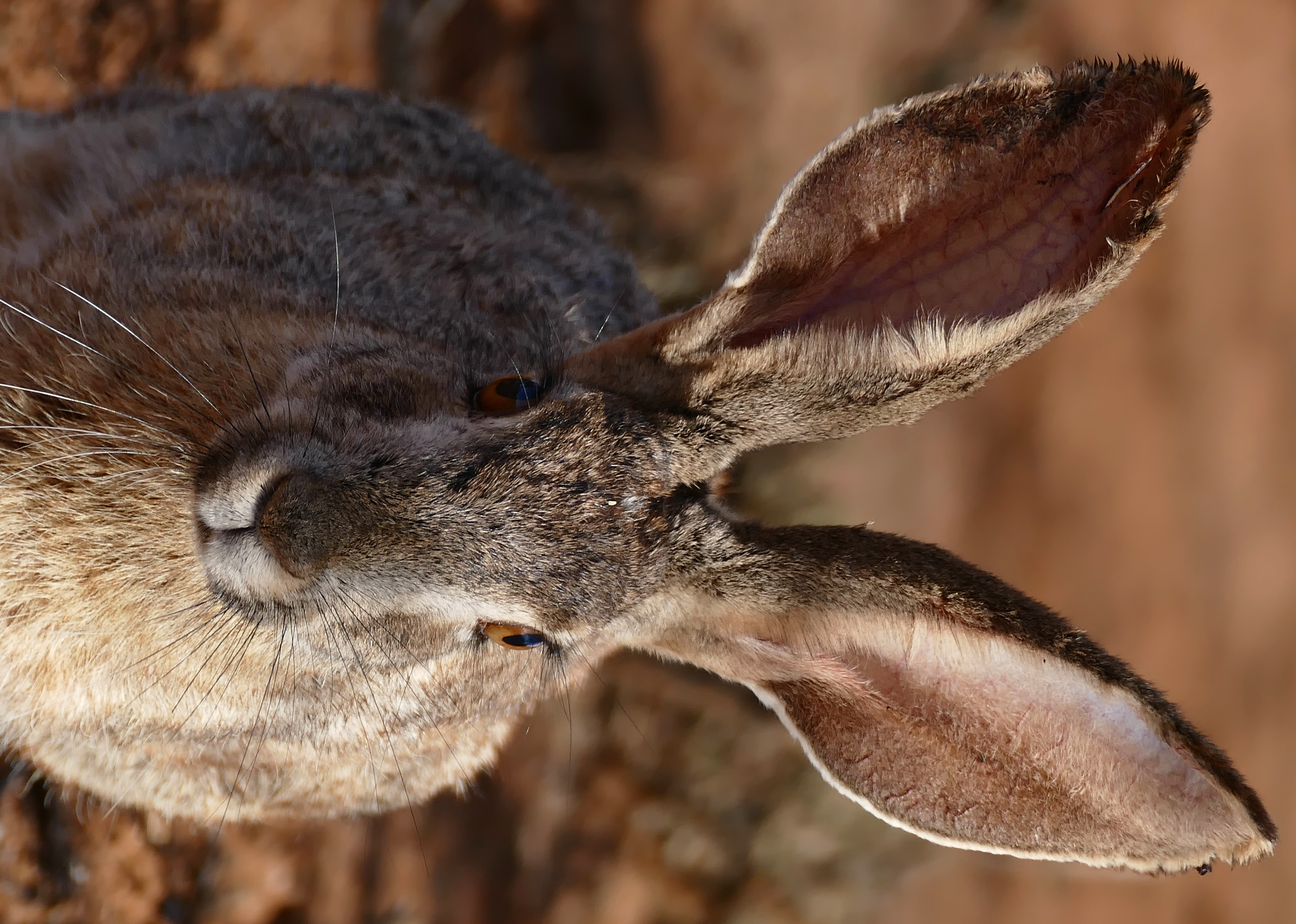 Hare - Wikipedia