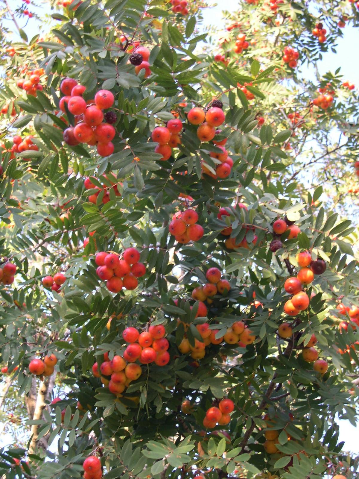 Jardinería - Página 15 Sorbus_domestica
