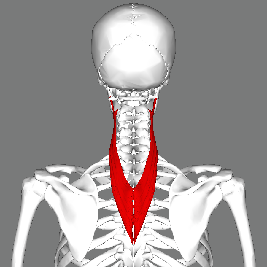 File:Splenius cervicis muscle back.png - Wikimedia Commons