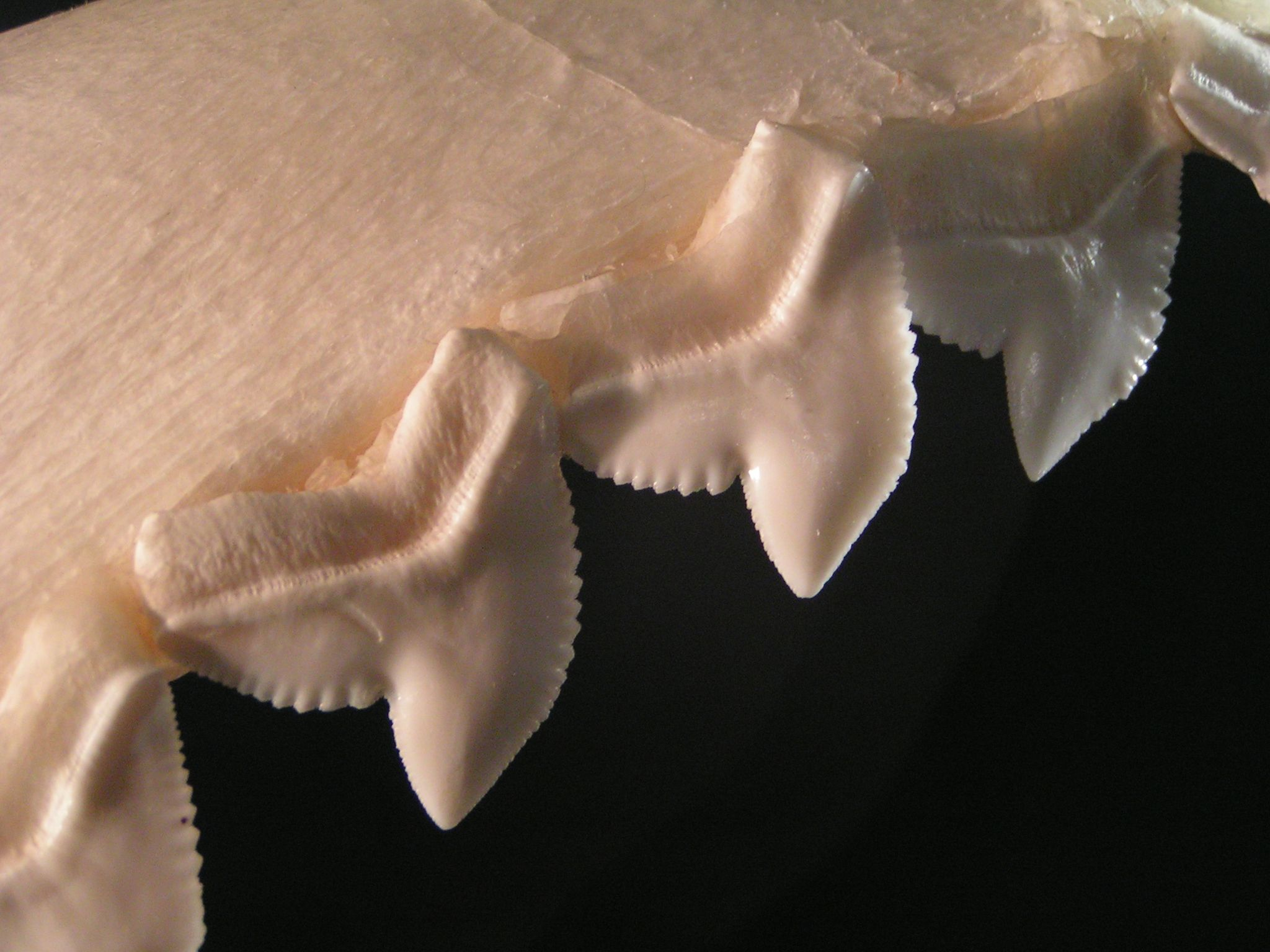 The serrated teeth of a tiger shark, used for sawing through flesh