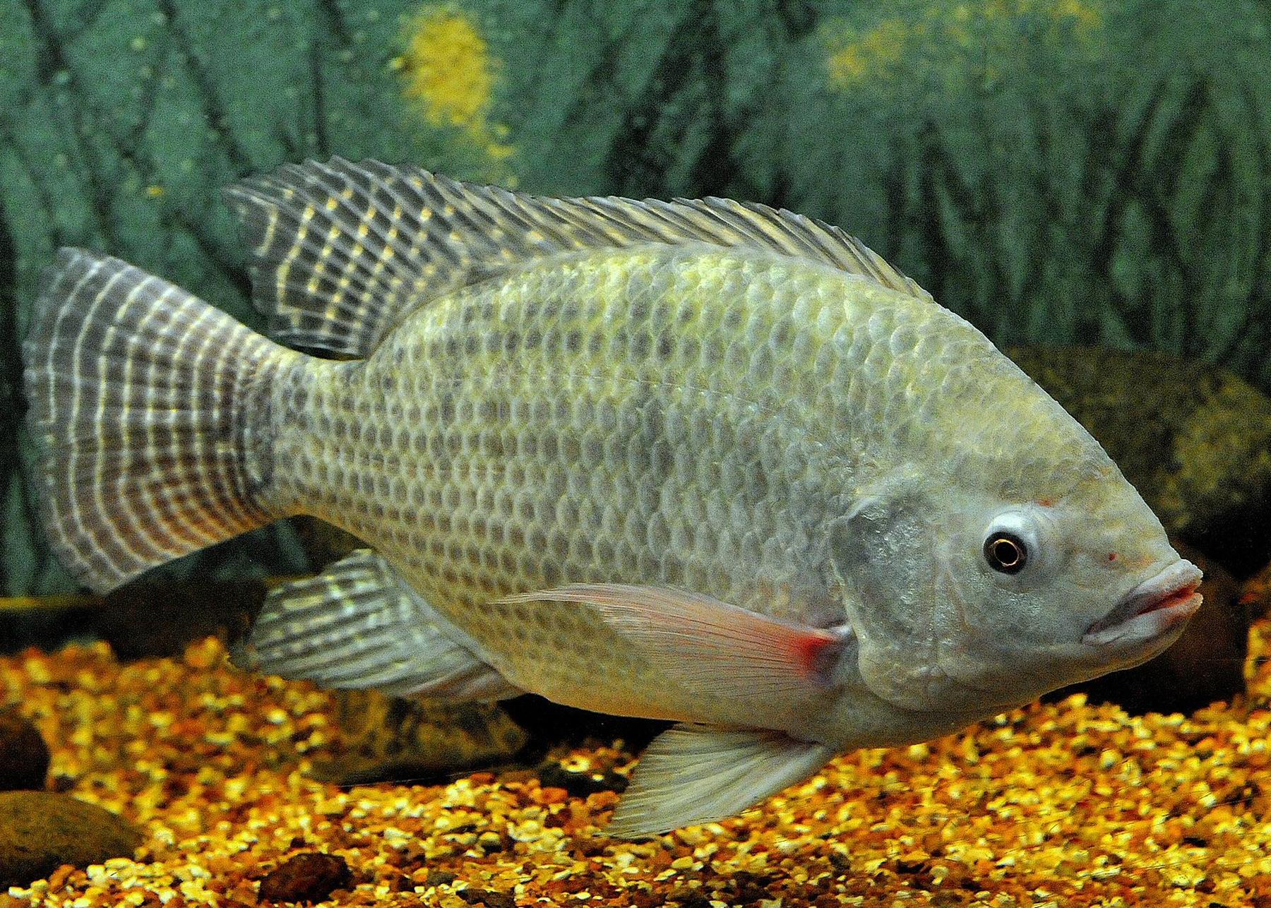 Nile tilapia - Wikipedia