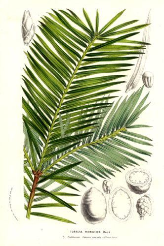 torreya de californie planche botanique