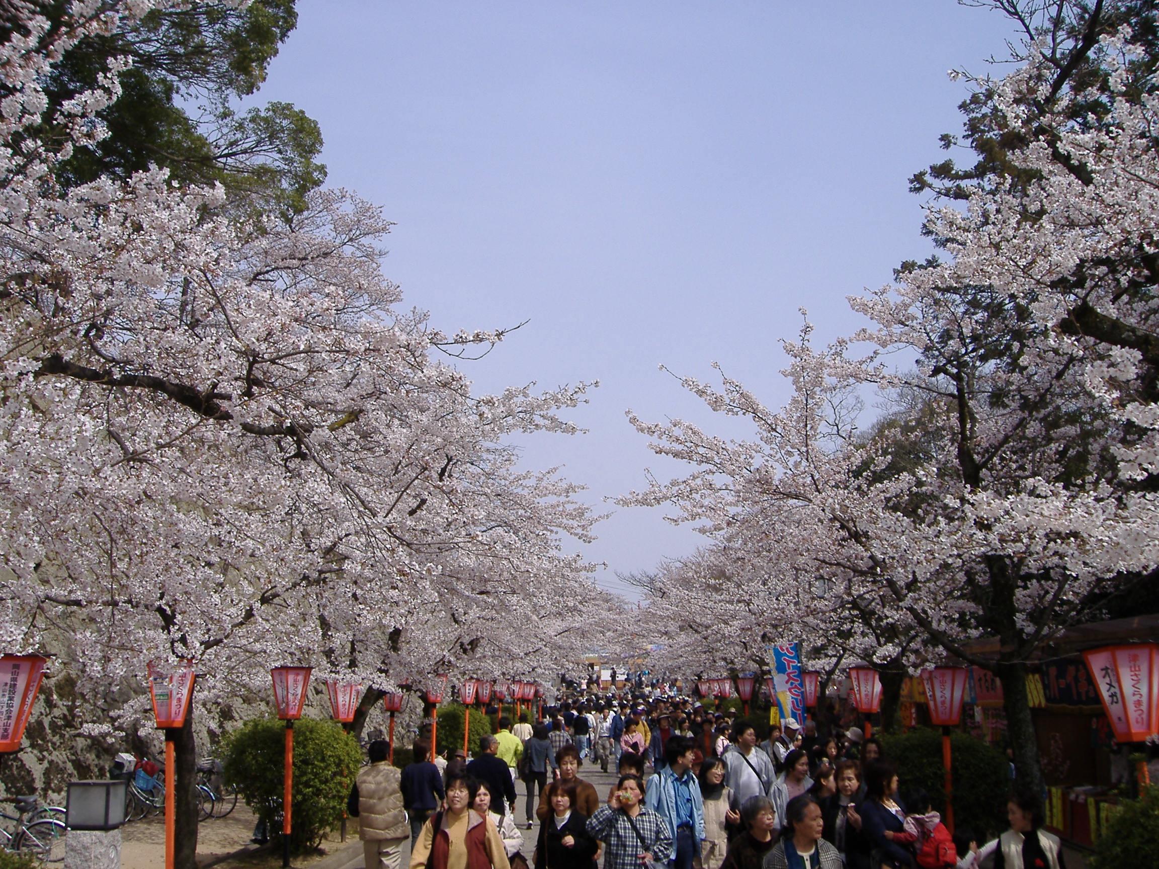 cherry blossom festival - HD2304×1728