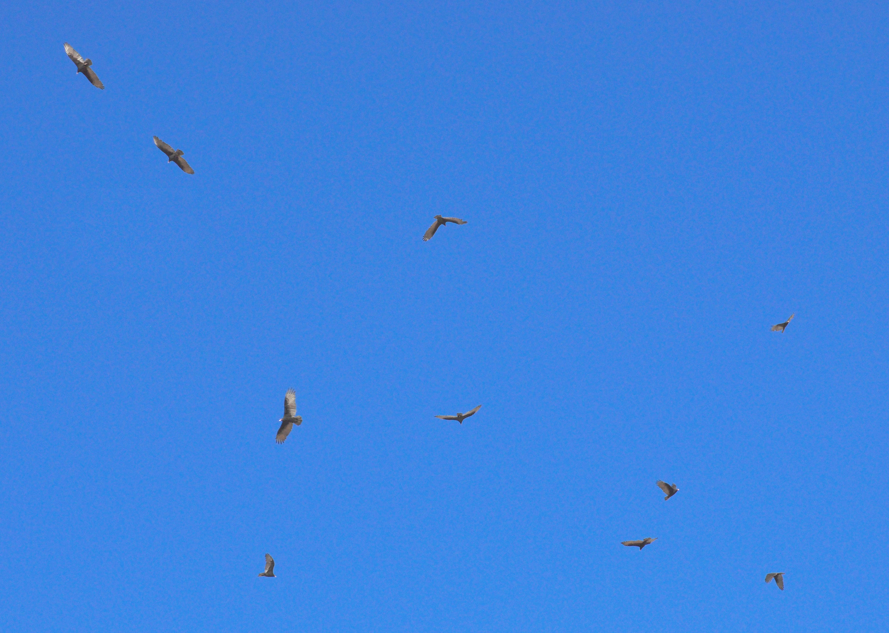File:Turkey Vultures Hovering.jpg - Wikimedia Commons