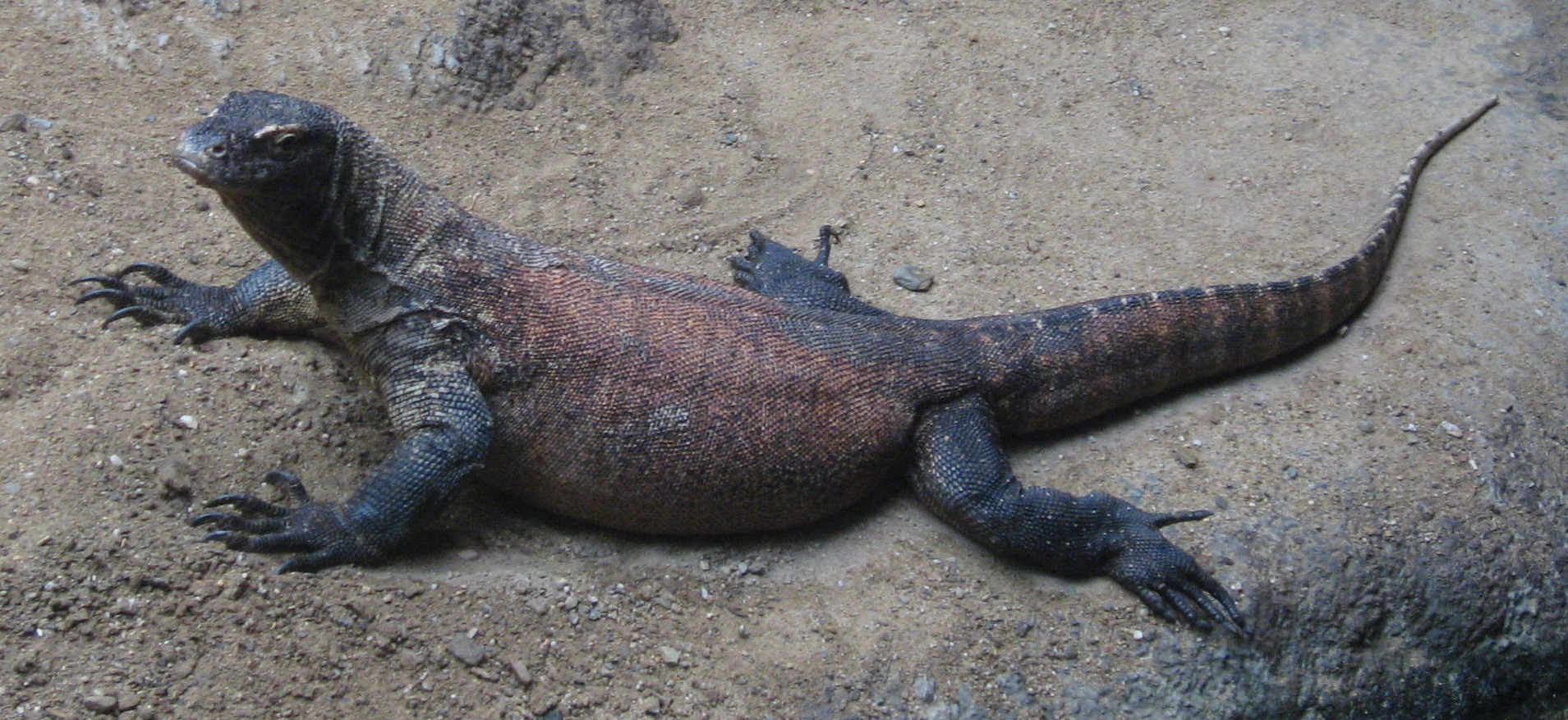 Image result for varanus komodoensis