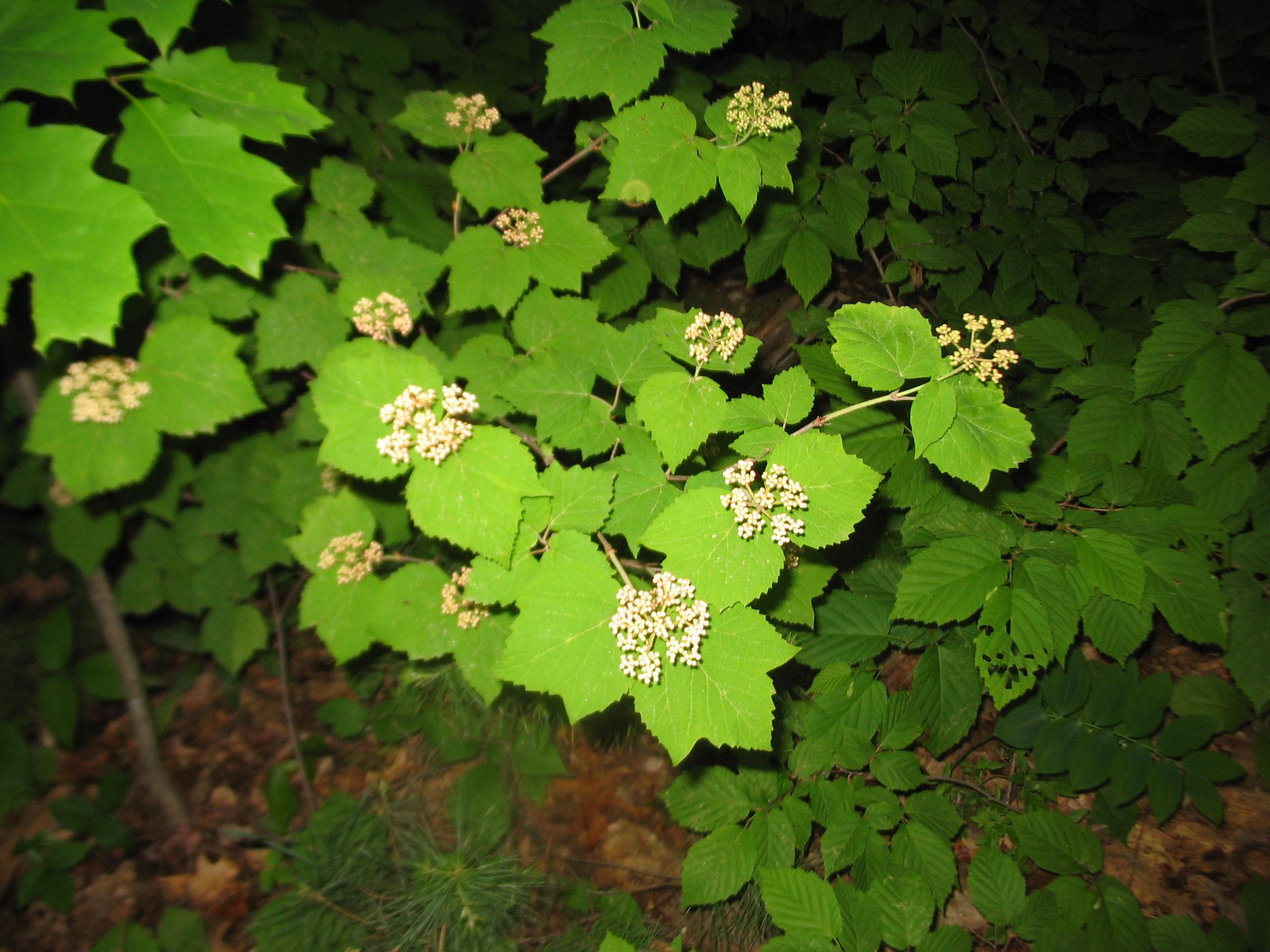 *V. acerifolium*