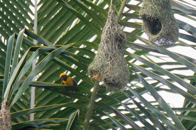 Weaver bird nest pictures - photo#2