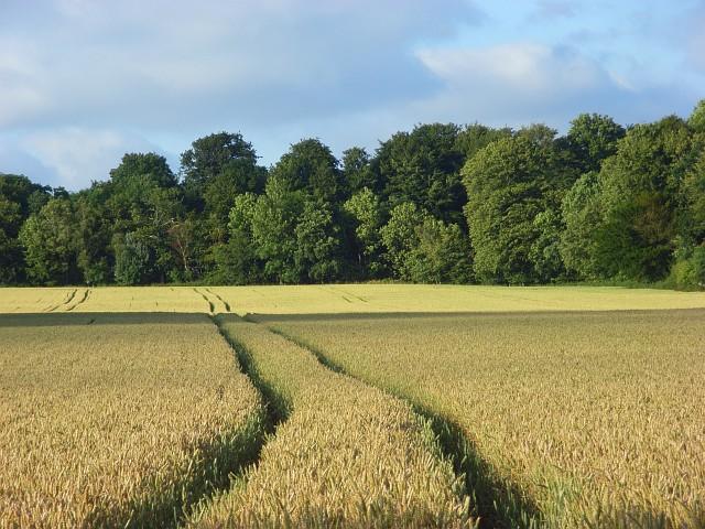 Wheat, Slindon - geograph.org.uk - 887762
