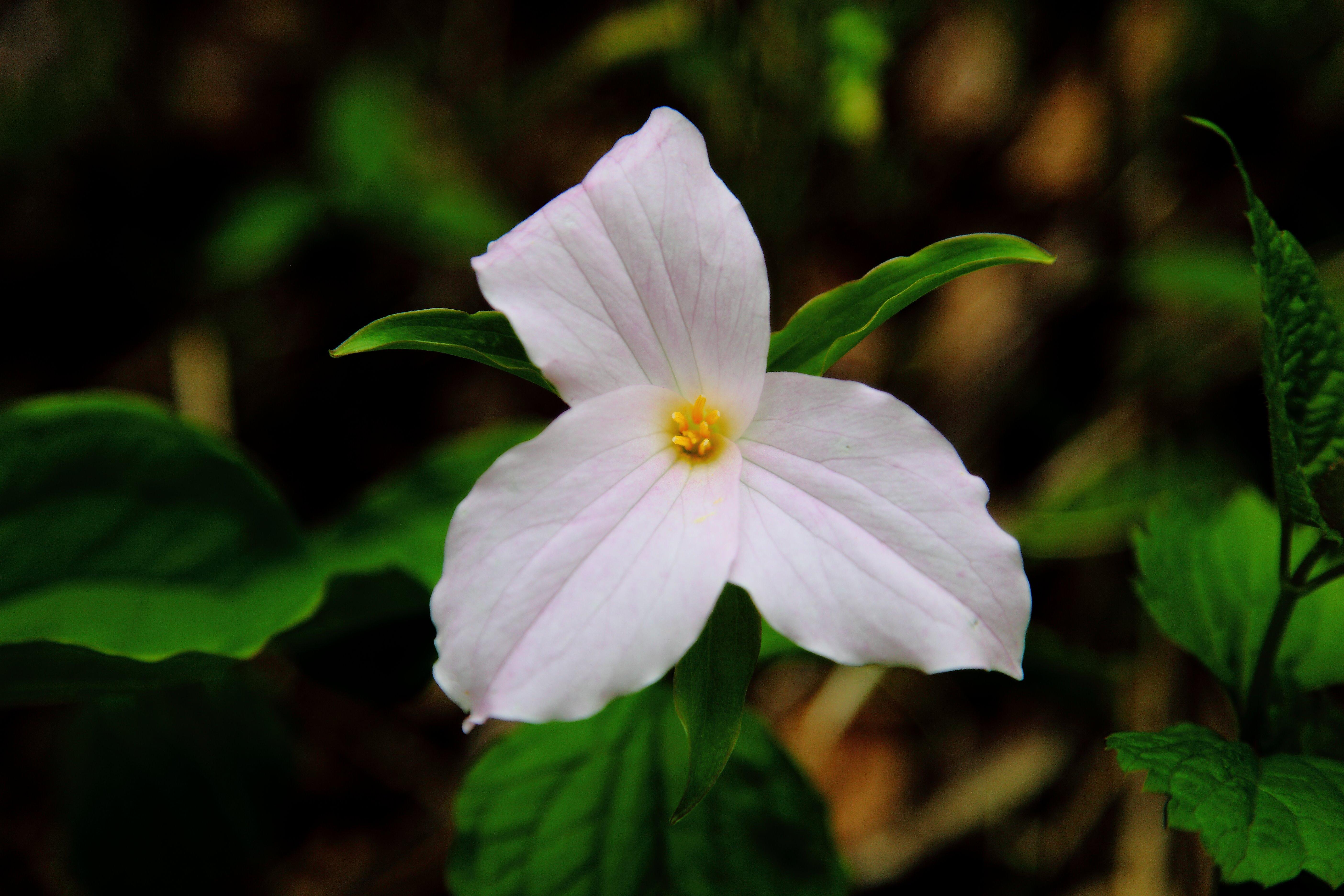 File White trillium flower Virginia ForestWander Wikimedia mons