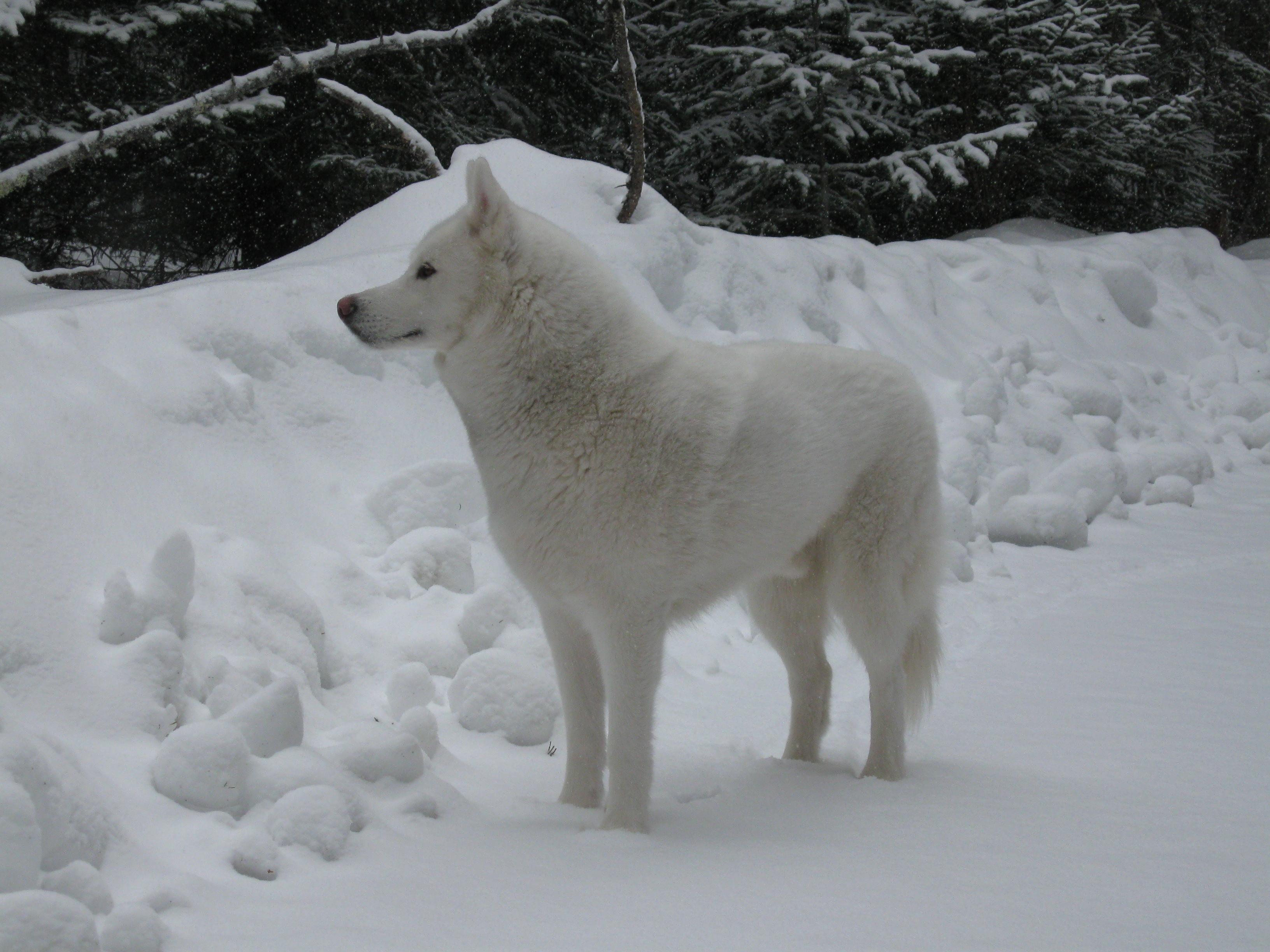 Husky Dog For Sale Dubai