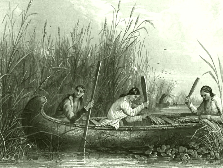 19th Century tribal women harvesting wild rice in the traditional manner.