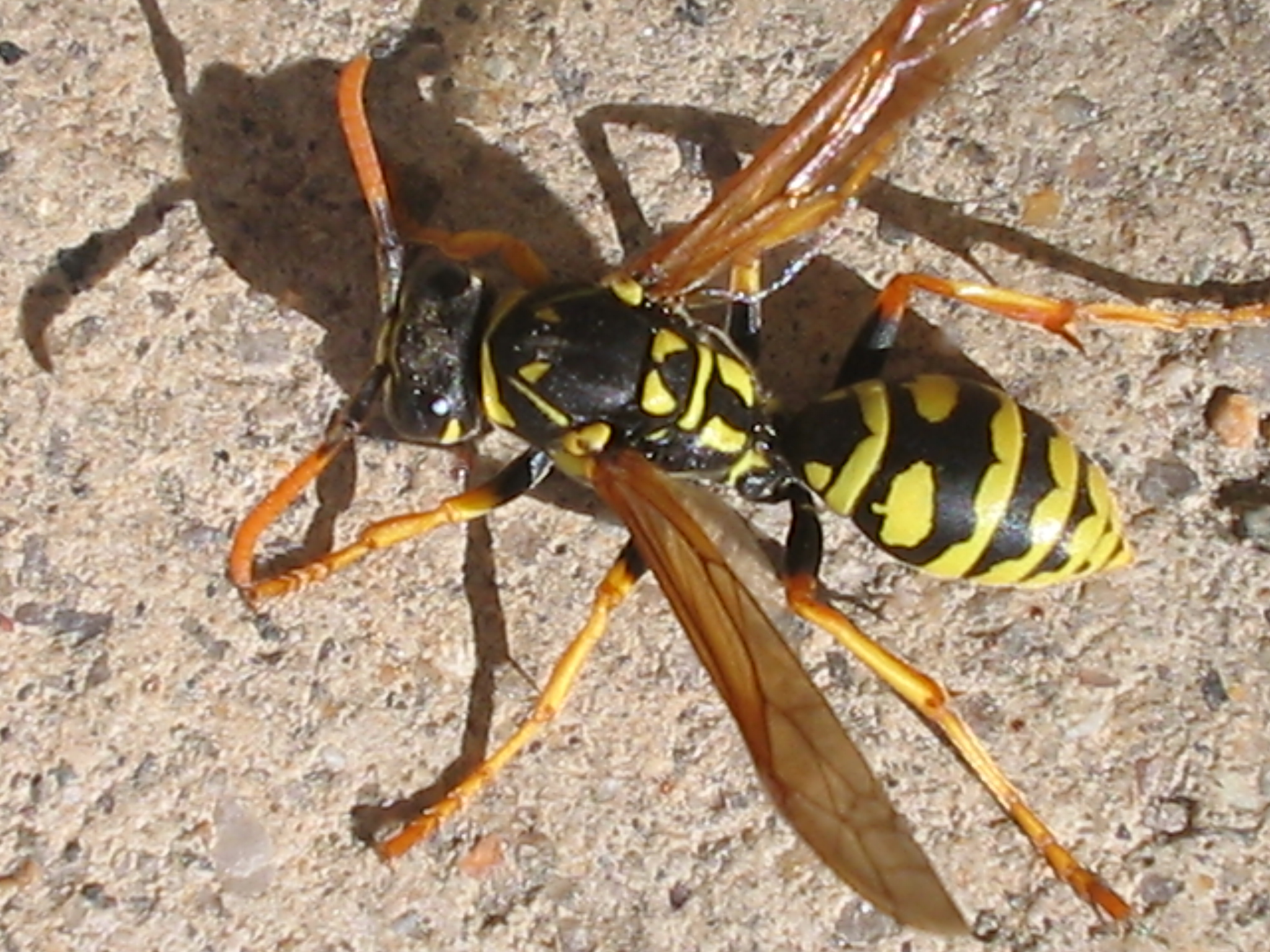 Small yellow jackets in the ground - Photo Credit By James From Boulder Usa Flickr Cc By 2 0 Http Creativecommons Org Licenses By 2 0 Via Wikimedia Commons Yellow Jackets