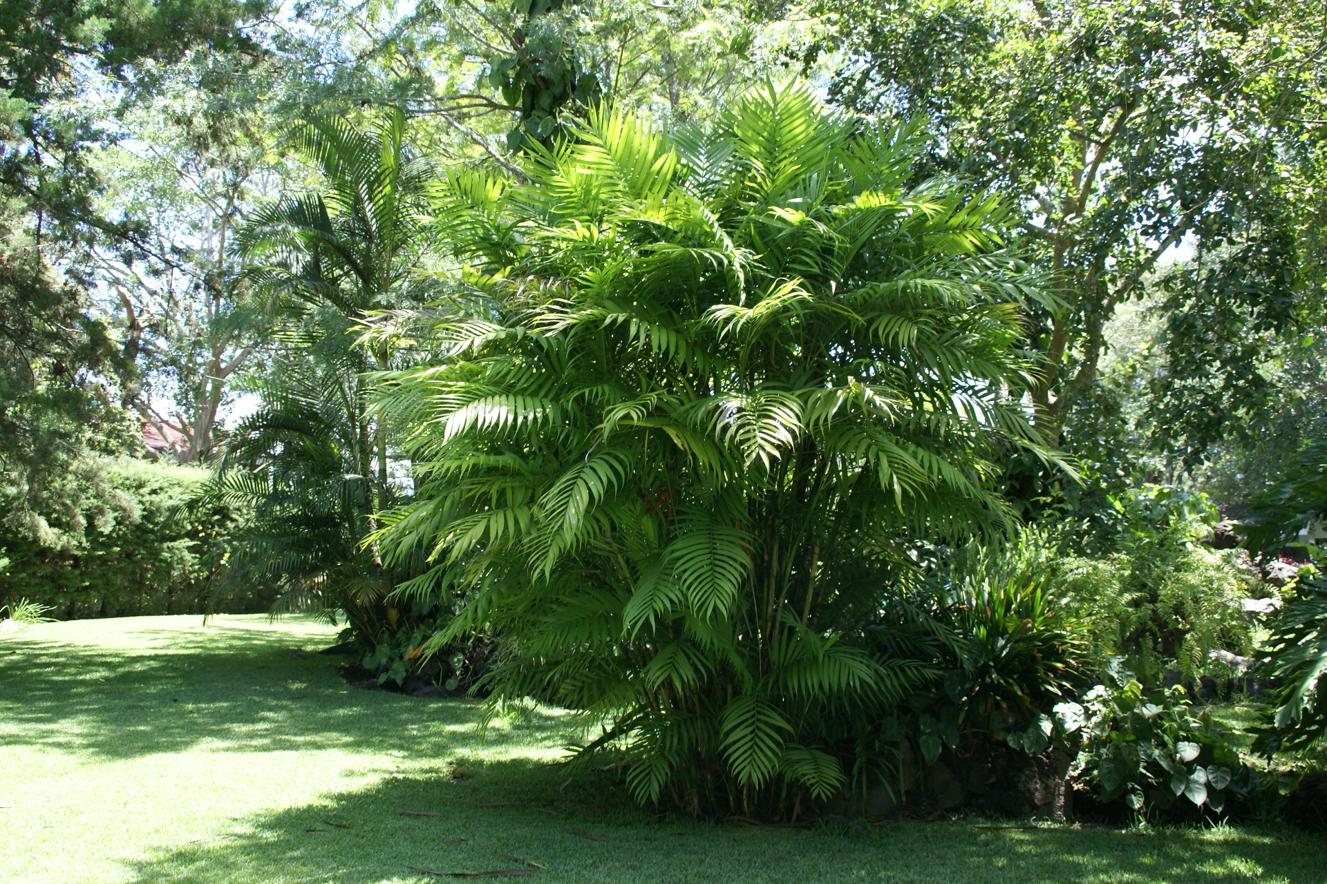 Chamaedorea tepejilote wikiwand for Au jardin des malentendus