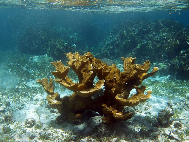 Acropora palmata (Elkhorn coral)