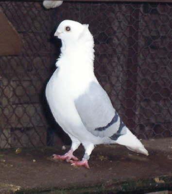 Old German Owl pigeon - Wikipedia