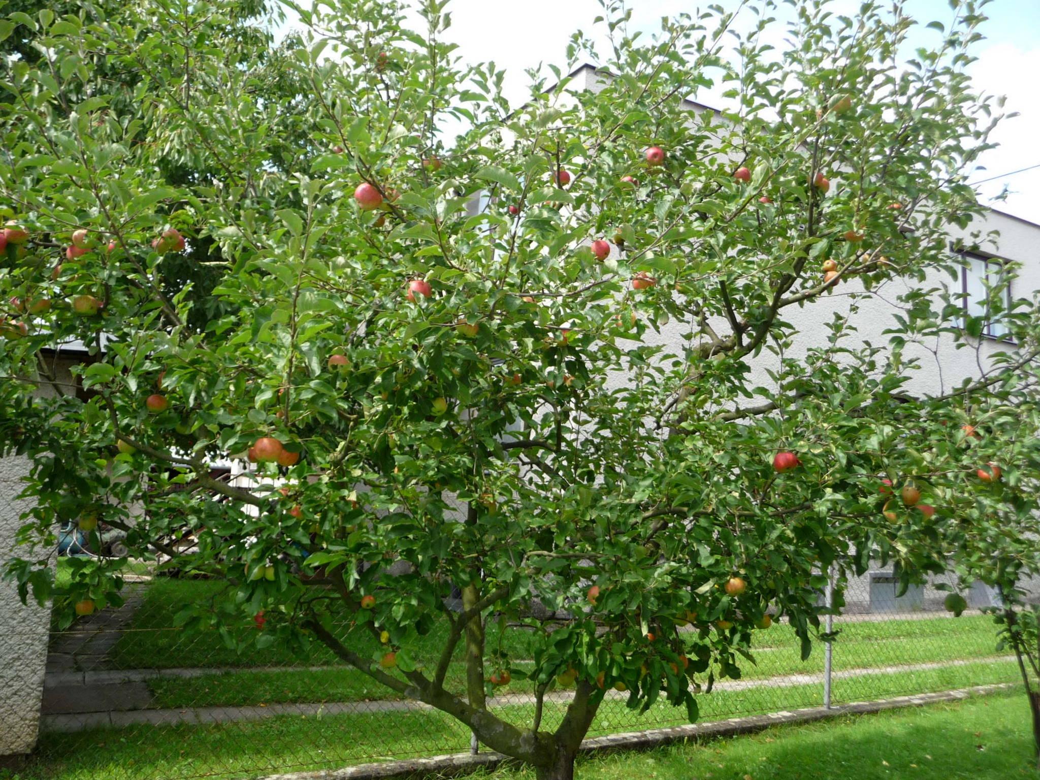 Iphone: Apple Trees