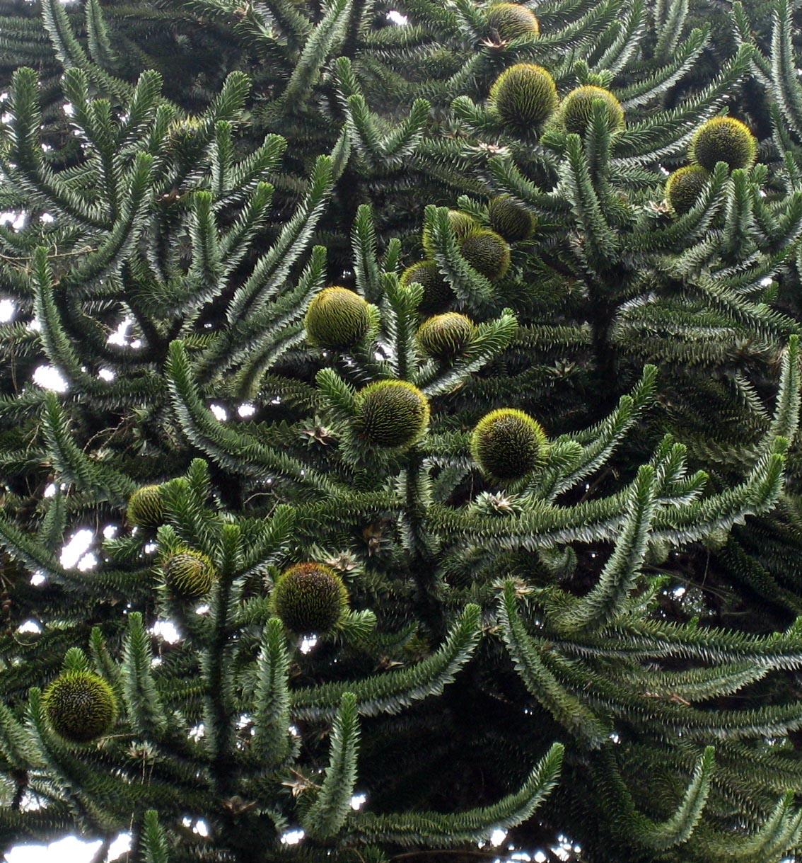 http://upload.wikimedia.org/wikipedia/commons/4/40/Araucaria_araucana_cones.jpg