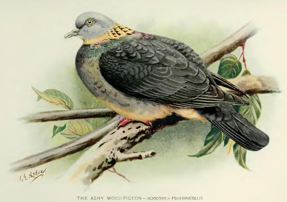 pigeon au four bardée de lard