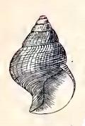 <i>Azorilla lottae</i> species of mollusc