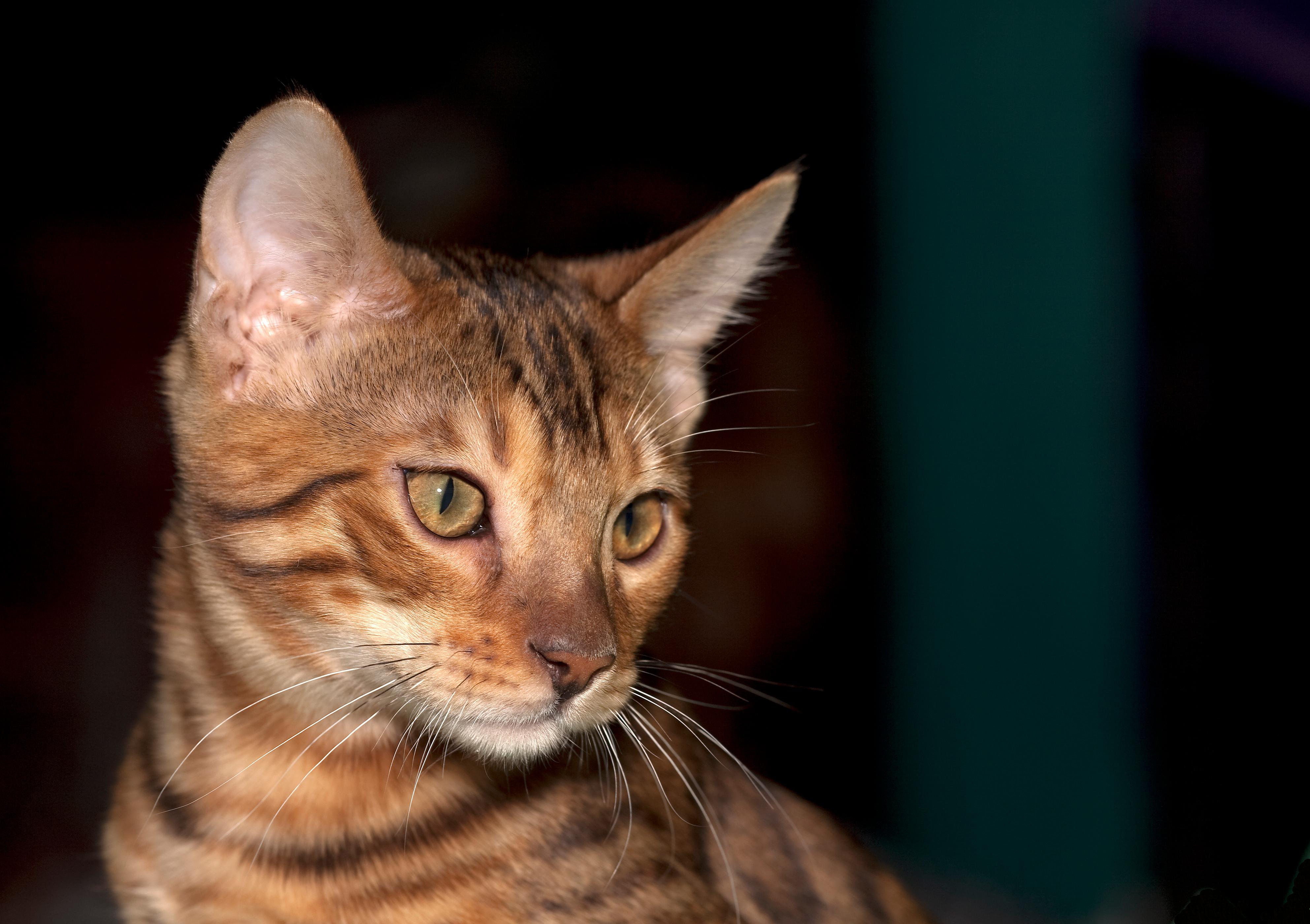 как вывели породу бенгальских кошек