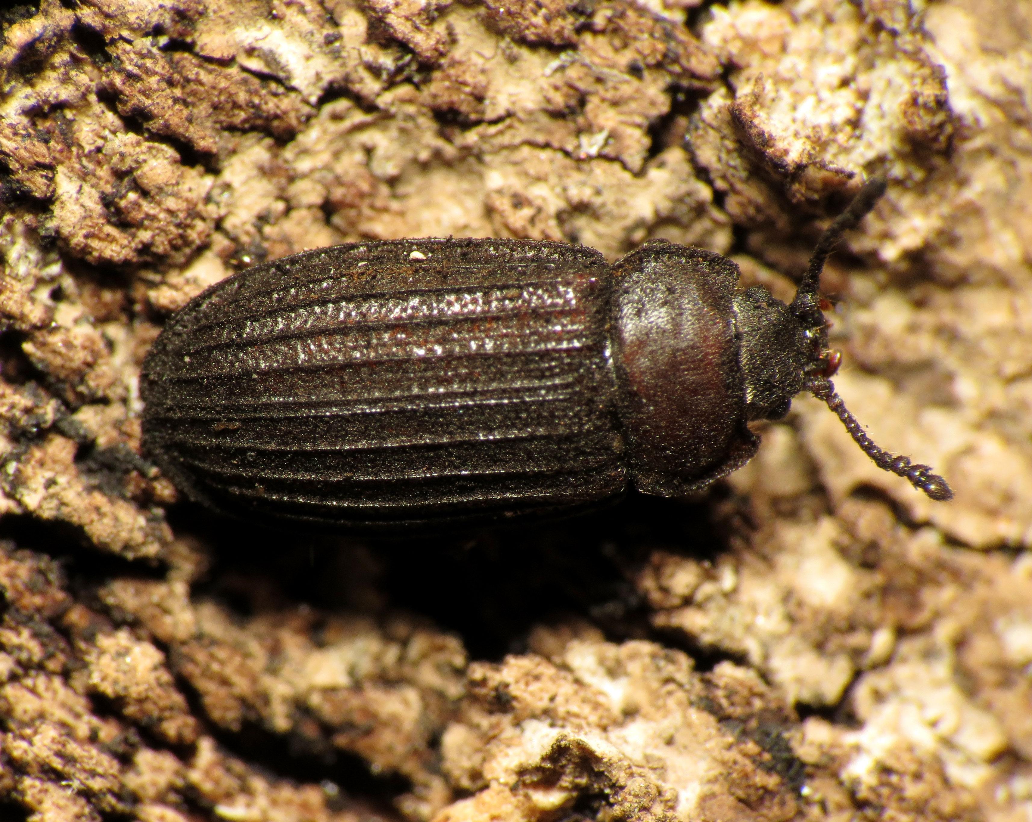 Bark gnawing beetle