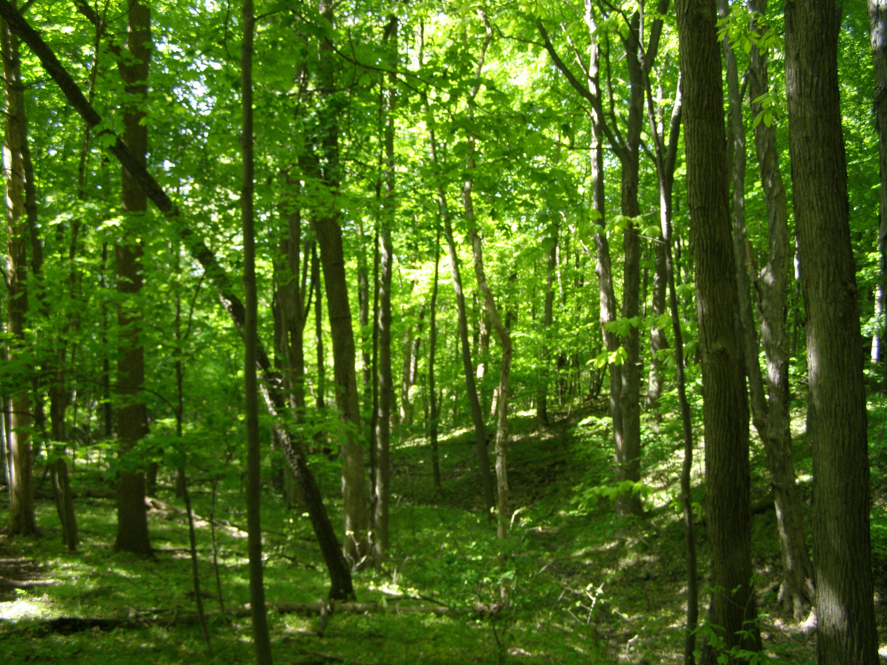File beech maple forest ravine toward bog g