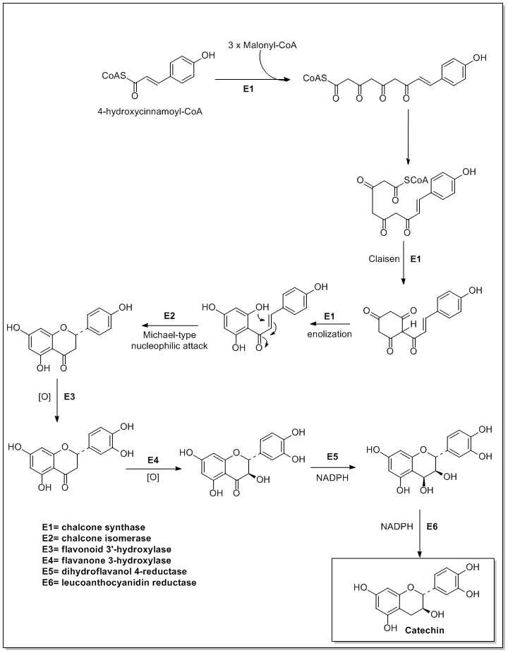 Biosynthesis of catechin.png