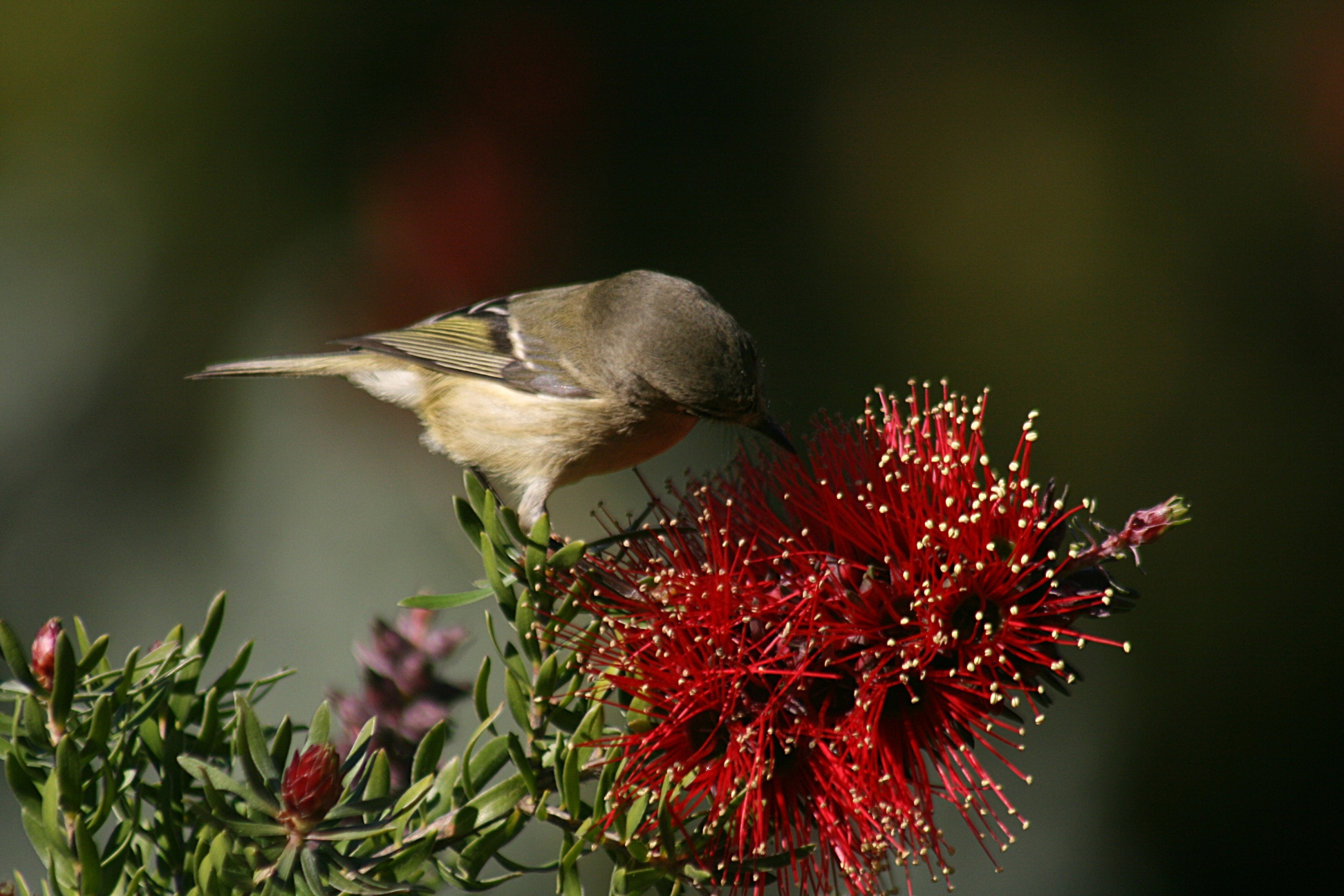 File Bird exploring a flower JPG Wikimedia mons